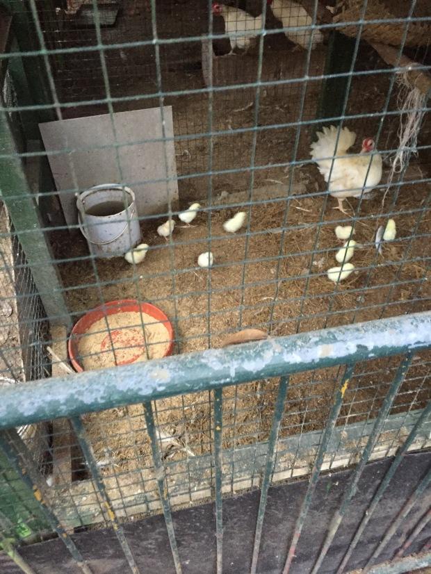 peternakan ayam kate